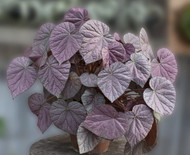 """Harmony's Stormy Sunset Begonia Plant - 4"""" Pot - Great Blooming Houseplant"""