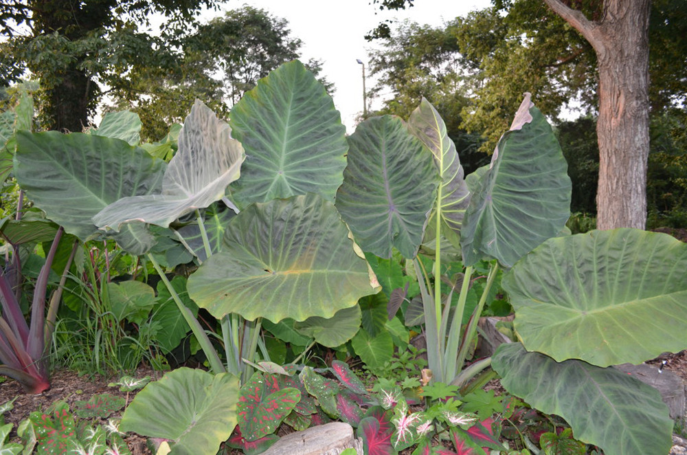 Maximus giagante Elephant Ear Plant - Colocasia - 4