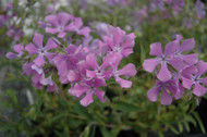 Jagger Paparazzi - Hardy Creeping Phlox - Quart Pot