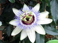 "Clear Sky Passion Vine Plant on Trellis - Passiflora - 7"" Pot"