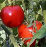 "Organic Early Girl Tomato Plant - 4.5"" Pot - No GMO's"
