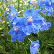 "Summer Blues Dwarf Delphinium - Sky Blue - 4"" Pot - Hardy Perennial"