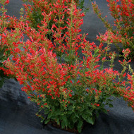 "Red Kudos Hummingbird Mint - Agastache - Anise Hyssop- Hardy - 4"" Pot"