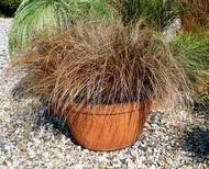 Red Rooster Ornamental Grass - Quart Pot - Carex/Sedge