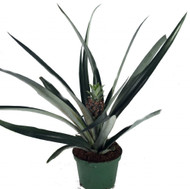 "Fruiting Pineapple Plant - Ananas comosus - Great Indoors/Out - 6"" Pot"