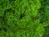 "Curly Leaf Parsley Herb - Petroselinum - Live Plant - 3"" Pot"