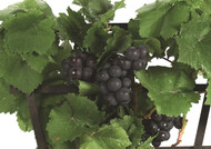 "Amazing Pixie Pinot Meunier Grape Vine Plant  -2.5"" Pot- World's 1st Dwarf Grape"