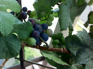 "Amazing Pixie Pinot Meunier Grape Vine Plant  -2.5"" Pot- World's 1st Dwarf Grape"