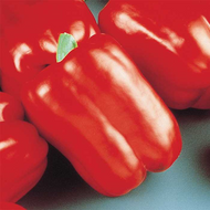"Sweet Baron Pepper - Capsicum annuum  - 3.5"" Pot"