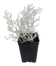 """Cushion Bush -Leucophyta brownii- 2.5"""" Pot - Terrarium/Fairy Garden/House Plant"""