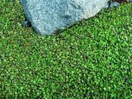 """Fairy Fern - Leptinella - 2.5"""" Pot - Terrarium/Fairy Garden/Houseplant"""