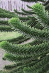 Monkey Puzzle Tree - Araucaria araucana - Chile Pine - Gallon Pot - Indoors/Out