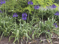 "Black Pantha Agapanthus orientalis - Violet-Blue Almost Black - 4"" Pot"