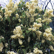 "Primrose French Lilac - Syringa - First Yellow Lilac - 2.5"" Pot"