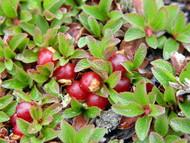 "Massachusetts Bearberry Plant - Arctostaphylos - Medicinal/Herbal - 4"" Pot"