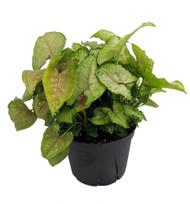 """Pink Illusion Arrowhead Plant - Syngonium / Nepthytis - 6"""" Pot"""