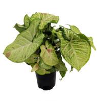 "Pink Confetti Arrowhead Plant - Syngonium / Nepthytis - 4"" Pot"