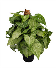 "White Butterfly Arrowhead Plant - Syngonium - Nepthytis - 6"" Pot/Totem"