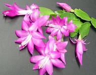 """Hirt's Lavender Christmas Cactus Plant - Zygocactus - 2.5"""" pot -Christmas Blooms"""