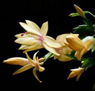 "Hirt's Rare Yellow Christmas Cactus Plant - Zygocactus - 2.5"" pot-Holiday Blooms"