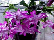 "Hirt's Fuchsia Christmas Cactus Plant - Zygocactus - 2.5"" Pot - Chrismas Blooms"