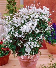 """Poet's Jasmine - Jasminum officinale grandiflorum - Very Fragrant - 2.5"""" Pot"""