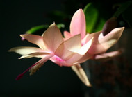 "Hirt's Peach Christmas Cactus - Zygocactus - 2.5"" Pot - Christmas Blooms"
