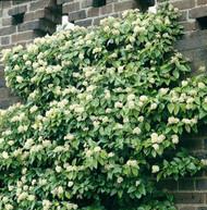 "Barbara Climbing Hydrangea Vine - Decumaria - Shade - 2.5"" Pot"