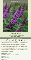 Humdinger Orchid Annie Butterfly Bush - Buddleia - Compact - Gallon Pot