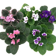 """Novelty African Violet - 4"""" White Textured Ceramic Pot - Best Blooming Plant"""