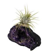 Geode Tilly Purple + Live Air Plant Tillandsia