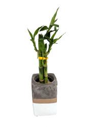 """Contemporary Concrete Lucky Bamboo Planter - White & Gold - Easy to Grow - 3"""""""