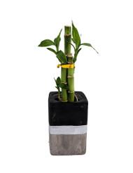 """Contemporary Concrete Lucky Bamboo Planter - Black & Silver - Easy to Grow - 3"""""""