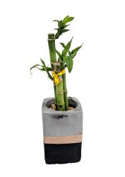 """Contemporary Concrete Lucky Bamboo Planter - Black & Gold - Easy to Grow - 3"""""""