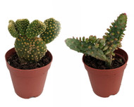 "Prickly Pear Opuntia Cactus - Opuntia - Easy - 2-Pack 2"" Pots"