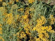 "Dwarf Curry Herb Live Plant - Helichrysum angustifolium - 4"" Pot"