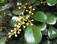 """Chinese Perfume Plant - Aglaia odorata - Sweet Fragrant Blooms - 4"""" Pot"""