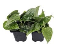"Rare Silvery Ann Devil's Ivy - Scindapus - EASY - 2 Plants - 3"" Pot"