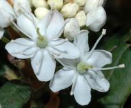 Labrador Tea Plant - Ledum groenlandicum - Gallon Pot - Hardy - Herbal Tea