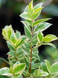 "Mini Variegated Biblical Myrtle - Myrtus - 2.5"" Pot - Fairy Garden/Houseplant"