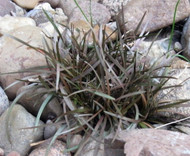 "Amazing Chocolate Bar Plant - Carex berggrenii - 2.5"" Pot - Indoors or Out"
