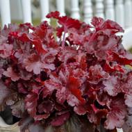 Dolce® Cherry Truffles-Coral Bells- Heuchera- Shade- Proven Winners - Gallon Pot
