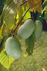 Paw Paw Trees 2 Plants - Banana fruit - Asimina triloba - PawPaw - Gallon Pots