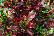 "Mamey Croton - 6"" Pot - Colorful House Plant - Easy to Grow"