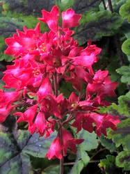 Coral Petite Heuchera - Coral Bells  - Coral-Pink Blooms - Gallon Pot