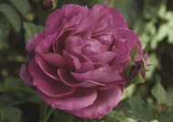 "Heirloom Garden Rose - Lilac-Lavender Blooms - 4"" Pot"