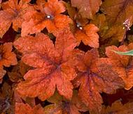 Pumpkin Spice - Coral Bells - Heucherella - Vigorous - Gallon Pot