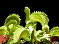 """Dente Venus Fly Trap Plant - Dionaea - Carnivorous - 3""""  Pot"""