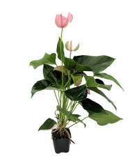 "Pretty Pink Anthurium Plant - Easy to Grow House Plant - 3"" Pot"