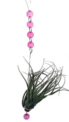 "Living Rainbow Drops Air Plant - Tillandsia - Pink - 10"" Long"